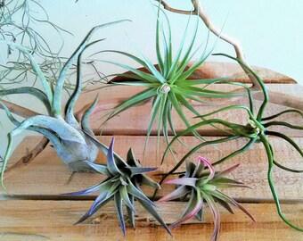 5 Air plant Mix  - Air plant assortment -Tillandsia - Air plant variety - Flowering air plants - terrariums - Air plants - Bulk air plants