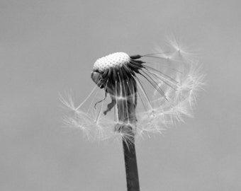Black and White Dandelion Photograph *choose your size*