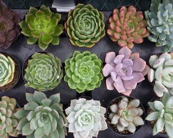 Succulent Plant - You Choose 4