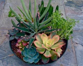 Succulent plants, DIY Terrariums, Centerpieces, Birthday Gift, Spring/Summer, Dish Garden- DESIGNER SERIES #3
