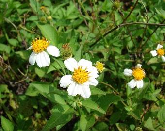 Bidens Pilosa Alba,MEDICINAL butterflies garden Spanish Needles 50 Rooted Plants