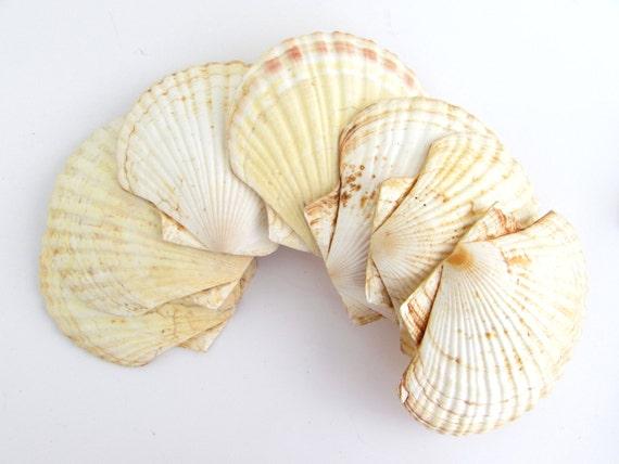 Vintage lot of large scallop shells baking shells diy for Large seashells for crafts