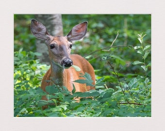 White Tailed Deer Picture