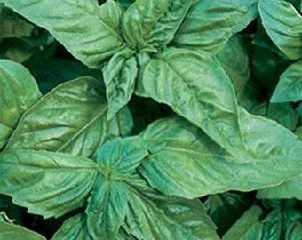 Basil- Italian lg. leaf- 200 seeds