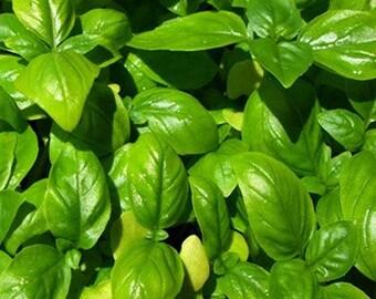 Basil- Sweet Genovese 200 seeds