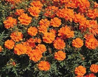 Cosmos- Orange- 100 seeds