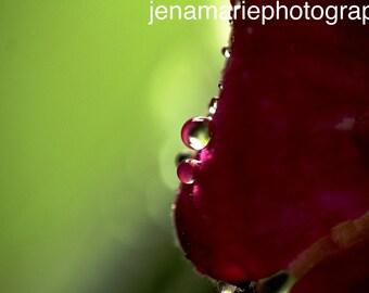 Macro Water Droplets on Rose Photo Print