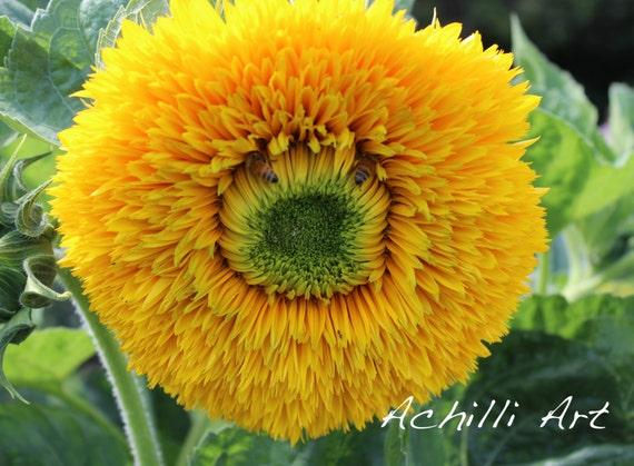 Yellow Flower With Bees- Elizabeth Park- Original Photograph