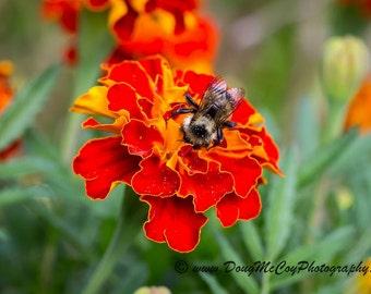 Bee on a Marigold Bloom #2876
