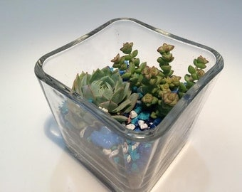 Succulent Plant Square Glass Planter, 2 Plants, Soil and Gravel  Complete DIY Kit