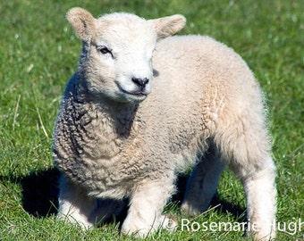 Spring Lamb - Original Fine Art Photograph - Lamb