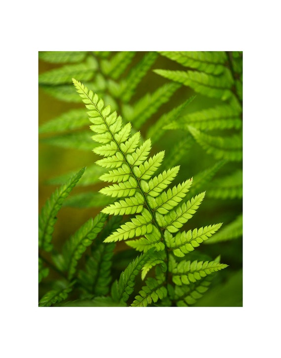 Fern Photography, Botanical Photograph, Fern Photograph, Fern Frond, Fine Art Photography, Nature Photography, Macro Photography, Home Decor