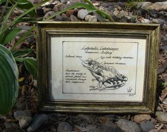 Pen and Ink American Bullfrog Frog Print 5x7 Vintage -Like Science Diagram Picture