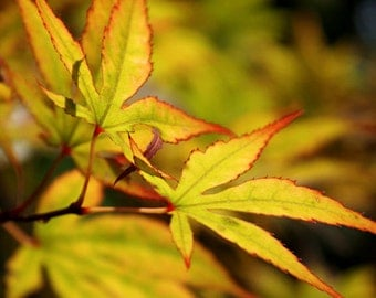 Glowing Leaves, Fall Leaves, Japanese Maple, Nature Photography, Red and Yellow, Leaf Closeup, Botanical, Green, Red, Yellow, Macro