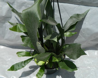 Staghorn Fern plant in 6 inch pot - Platycerium - Elkhorn - Hanging