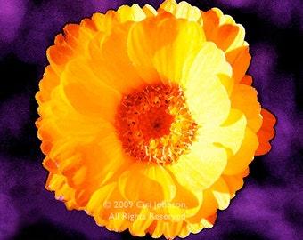 Ready To Hang METAL Print FUNDRAISER Flower Fine Art Floral Archival Photograph Daisy still life yellow purple orange red blue black