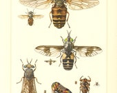 1956 Horse-flies and Louse Flies or Keds, Pale Giant Horse-fly, Common Horse Fly, Deer Ked Vintage Offset Lithograph