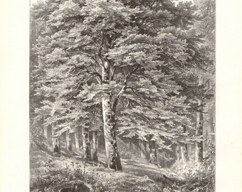 1913 Character Sketch of the Copper or Purple Beech and the Scots Pine