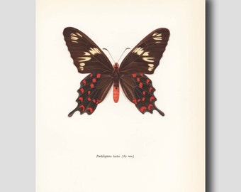 "Red Butterfly Print (Dorm Decor, Bedroom Wall Art) Vintage Butterfly Art Print --- ""Crimson Rose"" No. 66-1"