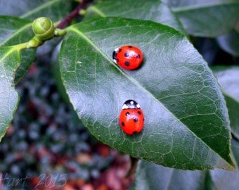 Realistic Ladybug Earrings