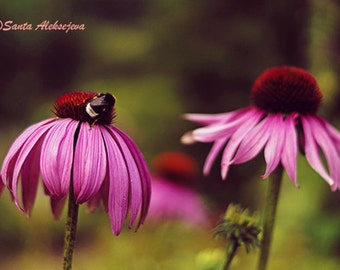 Echinacea print, purple coneflowers, purple flower, echinacea flower, flower wall art, flower photos, bumble bee decor, insect, photography