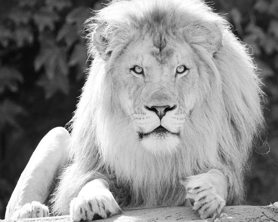 Lion Art Print Large Animal Picture Black And White Photo