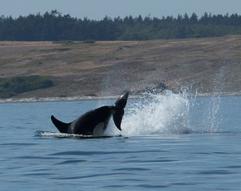 Orca (killer whale) photographic print