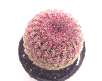 Echinocereus rigidissimus rubrispinus - Rainbow Hedgehog - Cactus