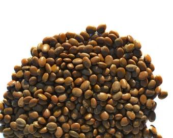 100 Seeds Honey Locust Tree Honeylocust Gleditsia triacanthos
