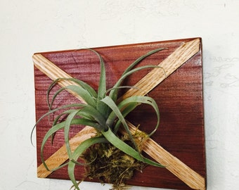 AIR PLANT MOUNTED on exotic Sipo wood, decorated with red oak veneer St. Andrews cross.