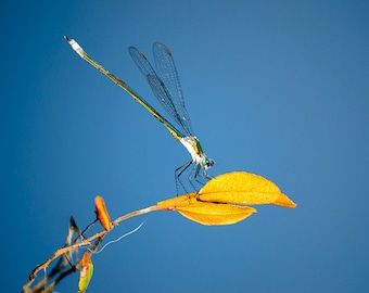 Dragonfly Photo, Insect Nature Photography, Dragonfly Print, Fine Art Print, Dragonfly Art, Fine Art, Insect Photo, Close up Photo, Macro