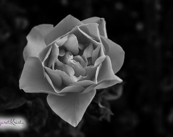 Black and White Rose - petals flower photography