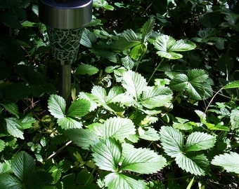 5 Pc Strawberry Plants Wild strain Bare Root with leaves left on