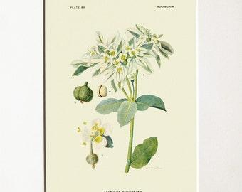 Lepadena Marginatam vintage botanical print