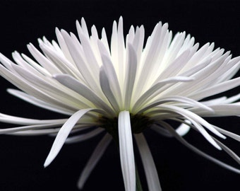 White Beauty Fine art photography Flower Mum Nature Wall art Floral Print