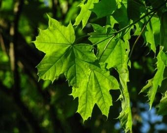 Digital Photography, Maple Leaf, Sunlight, Leaves, Summer Photography, 2015, 5x7, 8.5x11, 11x14