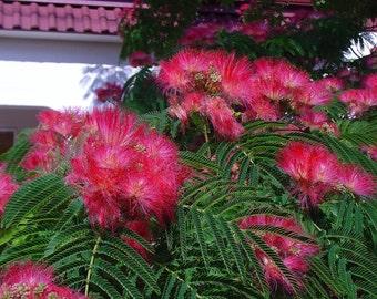 albizia julibrissin silk tree 4 seeds