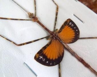 OVERSTOCK: Orange Winged Stick Insect, Pseudodiacantha macklottii males