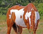 Horse bird photo, paint horse print, Horse Photography, paint horse photo, horse with birds, western decor, Horse Art Print, cowboy decor