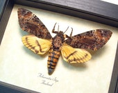 Real Framed Silence Of The Lambs Male Deaths Head Moth 653