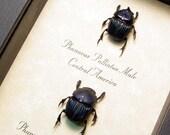 Phanaeus Palliatus Pair Real Framed Scarab Beetles 8327