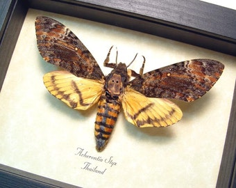 Real Framed Silence Of The Lambs Male Deaths Head Moth Shadowbox Display 653