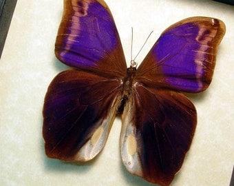 Real Framed Male Eryphanis Aesacus Purple Owl Butterfly 6280