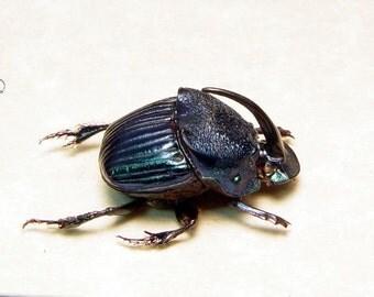 Phanaeus Amethystinus Rare Framed Male Scarab Dung Beetle 8328