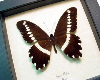 Papilio Mechowi Rare Real Framed African Narrow-Branded Swallowtail Butterfly 8352