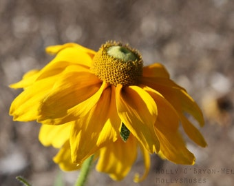 Floral  Photography, Yellow Button Flower, Rustic Cottage Decor, Macro Flower Art, Gold Golden Gray