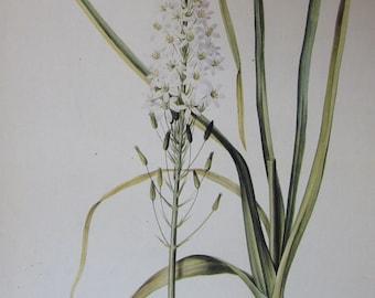 Botany Print-Redoute-Ornithogalum Narbonense, 1986 Flower Print/Color Plate/Book Print/Bulb & Flower/Home Decor/Art Print