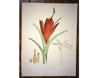 1827 MUSA BANANA PLANTAIN print - original antique vegetable fruit flower botanical lithograph
