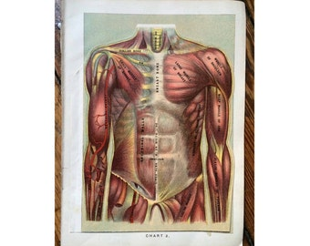 1903 HUMAN ANATOMY lithogrpah original antique anatomy print internal organs layers of body parts