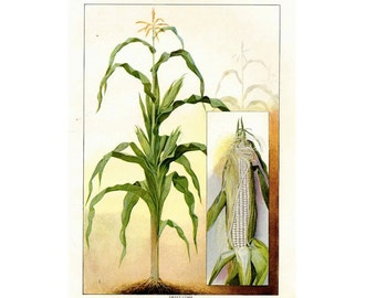 1911 CORN STALK original antique fruit & vegetable food lithograph print